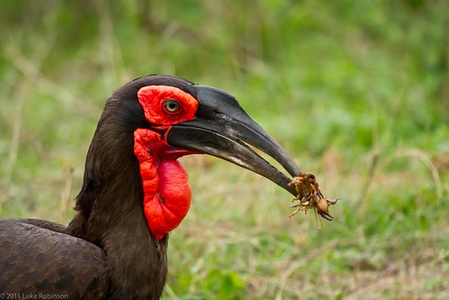 Southern Ground-Hornbill with Scorpion
