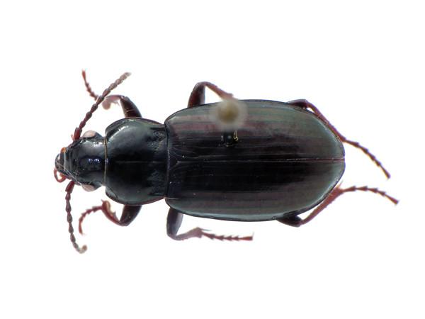 Pterostichus (Stereocerus) haematopus - black/metallic version - dorsal