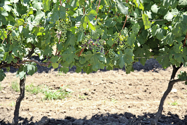 vineyard across the road