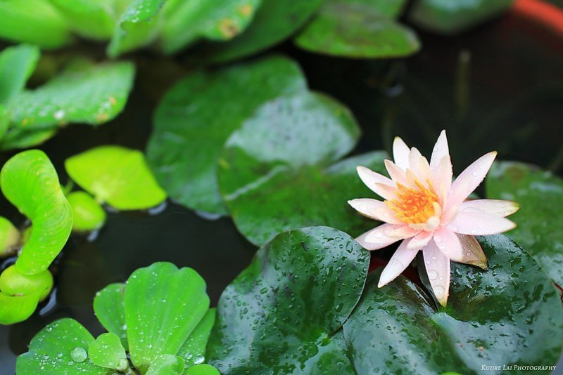 雨畫荷情(beautiful scene of lotus)