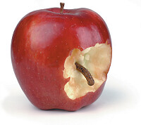 Worm inside an apple
