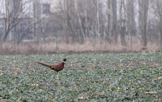 Pheasants hiding behind the village's cemetery