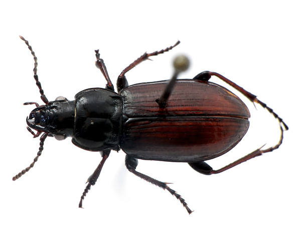 Pterostichus (Stereocerus) haematopus - rufinistic version - dorsal