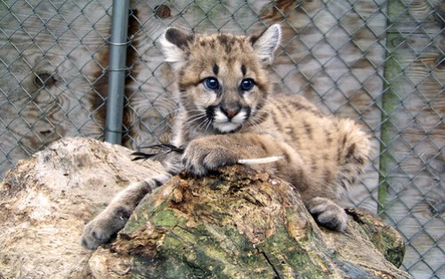 New Zoo Mountain Lion Kitten