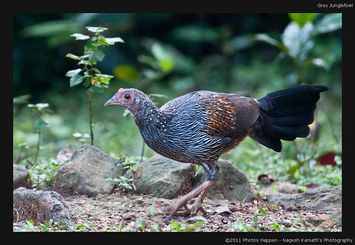 Grey Junglefowl