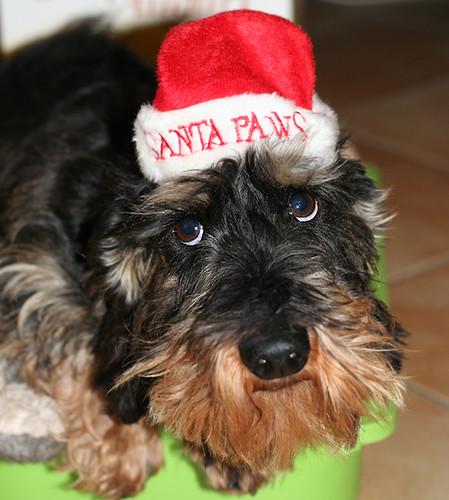 Mistah Santa Paws