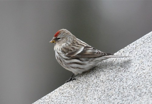 Common Redpoll by Goyo P