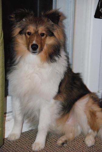 Dog, Shetland Colley