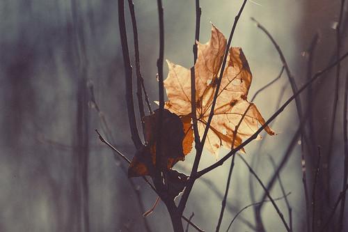 Autumn Maple Leaf by Isoscelez
