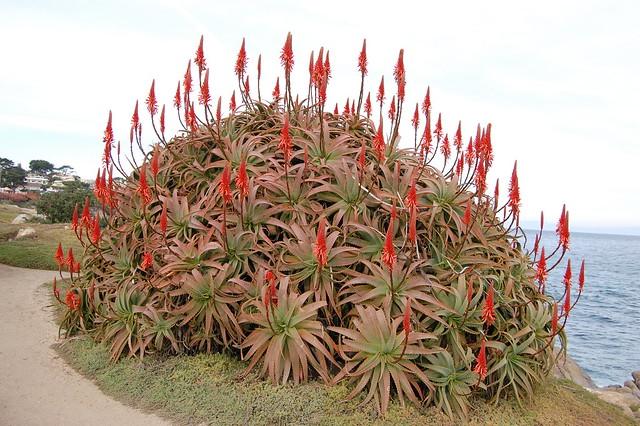 Aloe arborescens - Krantz Aloe