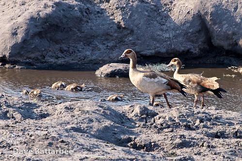 Egyptian Geese & Goslings