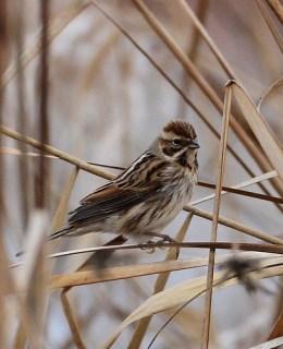 2012_01_17 LN - Reed Bunting (Emberiza schoeniclus) 03
