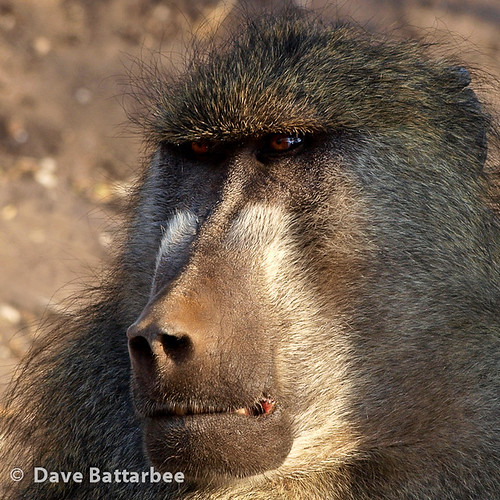 Baboon (Square crop)