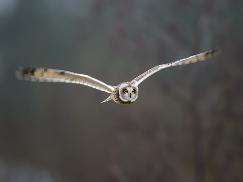 Short-eared Owl-winter