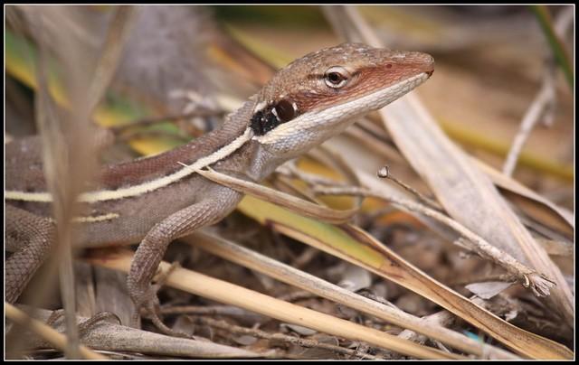 Ta Ta Lizard