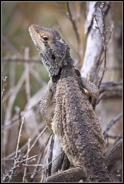 Abrolhos Bearded Dragon