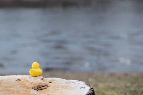 TY #7 Rubber Duckies