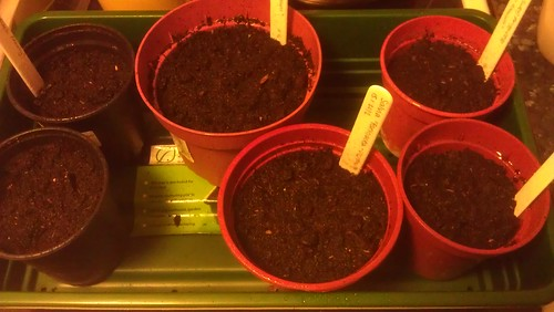 Six pots containing newly sown seeds.