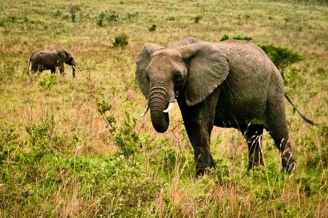 Kenyan Elephants! (3)
