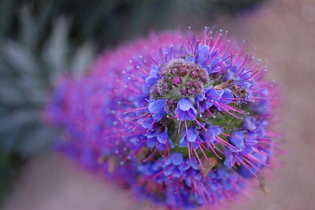 Echium candicans - Pride of Madeira