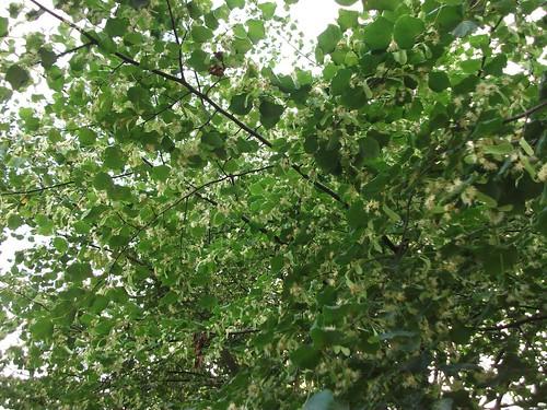 tilia a mass of flowers