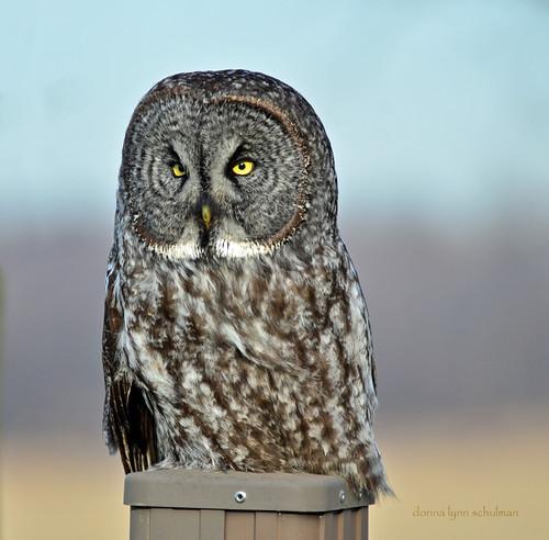 Ontario: Great Gray Owl 2