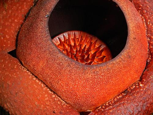 the prize, a giant Rafflesia