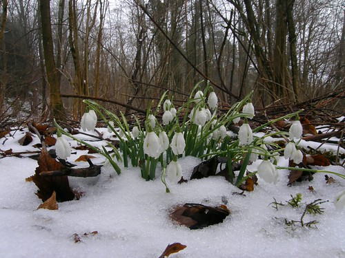 Snowdrops near Haweswater