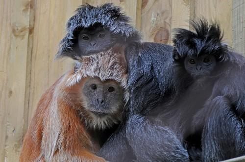 Schwarze Haubenlanguren im Zoo de Trégomeur