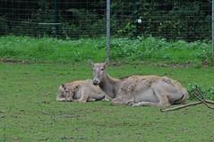 Davidshirsche im Zoo de Trégomeur