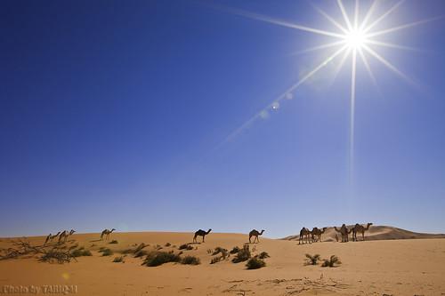 Camels Life by TARIQ-M