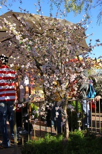 Cherry Blossom - Lunar New Year Celebration