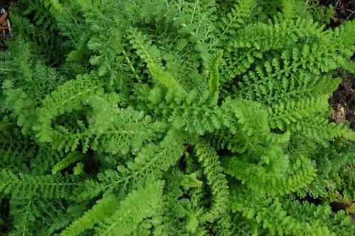 Achillea millefolium 'Sonoma Coast'