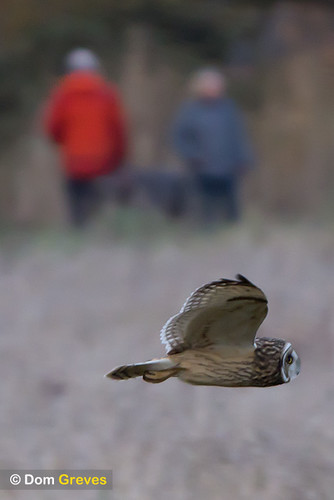 Short-eared owl and observers