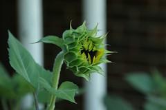 Sunflower by kathrynlinge