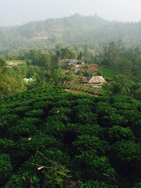 Ровные ряды чайных посадок