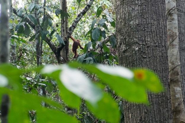 Goodbye orangutan. Rainforest Discovery Centre, Sepilok