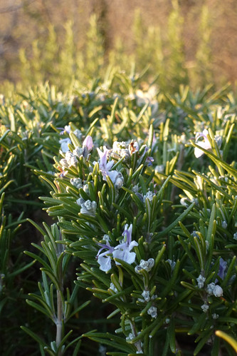 blooming rosemary 7 jan 2012