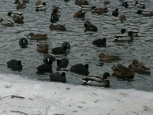 DucksWannsee