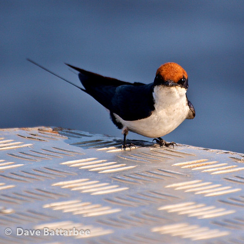 Wiretailed Swallow
