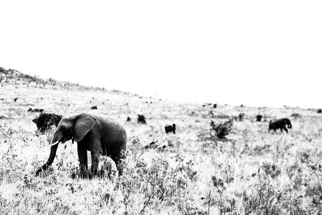 Kenyan Elephants! (5)