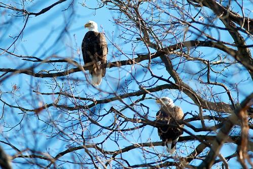 Bald eagles at Long Arm Dam, York County, Pennsylvania