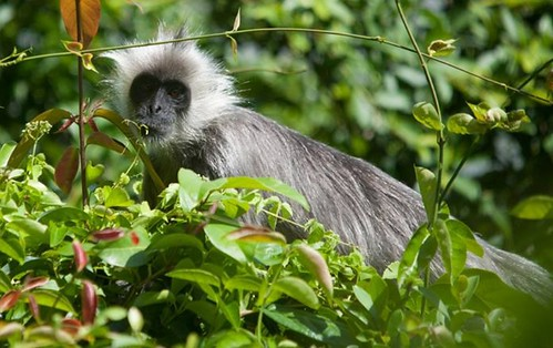 Indochinese silvered langur [Andie Ang]