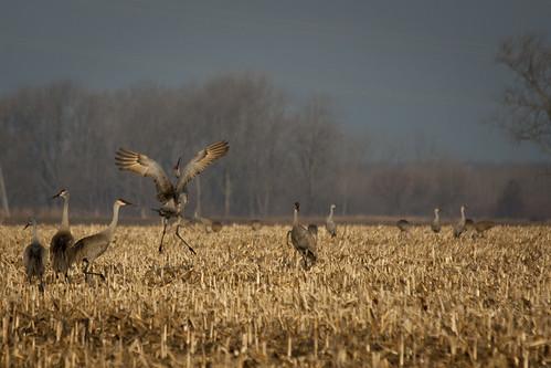 cranes 028