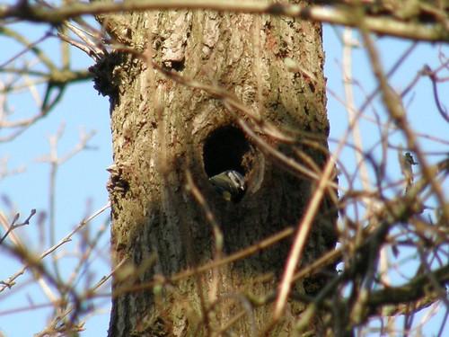 Blue tit investigates nesting hole.