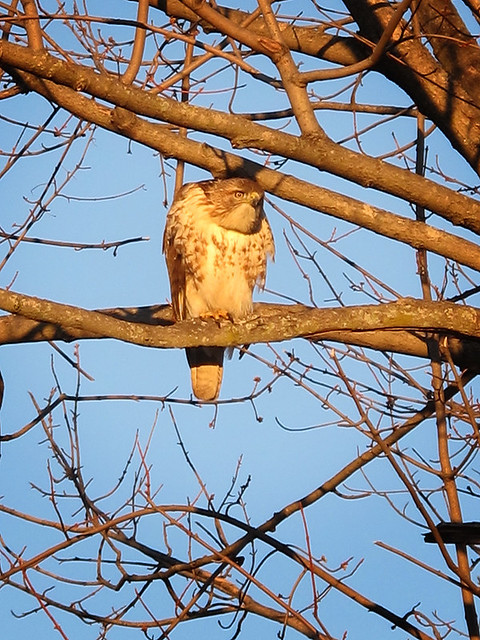 Suburban Hawk 02
