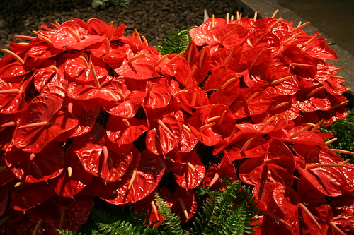 Hawaiian Anthuriums