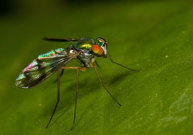 Typical Dolichopodid Fly