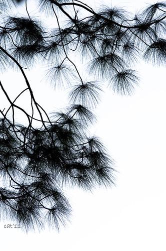 Nepal - pine tree
