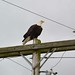 Bald Eagle Near Edison,. Washington